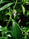 Andrographis paniculata 002