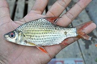 <i>Cyclocheilichthys</i> genus of fishes