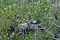 Anhinga nest (8503410925).jpg