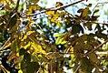 Annona-urbaniana.jpg