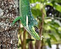Anolis equestris - bright close profile.jpg