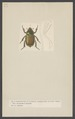 Anoplognathus - Print - Iconographia Zoologica - Special Collections University of Amsterdam - UBAINV0274 001 06 0016.tif