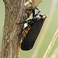 Another Black Fulgorid - Flickr - treegrow.jpg