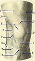 Anterior region of knee. Testut. ro.jpg