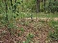 Anthericum ramosum Kiev4.jpg