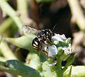 Anthidium sp. Megachilidae - Flickr - gailhampshire.jpg