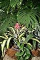 Anthurium berriozabalense (3072471667).jpg