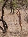 Antilope girafe debout (cropped).jpg