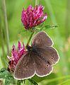 Aphantopus hyperantus Gweirloyn y glaw.jpg
