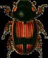 Aphodius putridus Jacobson.png