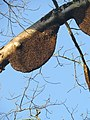 Apis dorsata - Giant honey bee on Tetrameles nudiflora on Makuta Virajpet road (21).jpg
