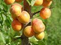 Apricots (4223660369).jpg