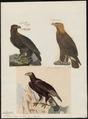 Aquila chrysaëtos - 1700-1880 - Print - Iconographia Zoologica - Special Collections University of Amsterdam - UBA01 IZ18100179.tif