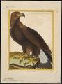 Aquila chrysaëtos - 1700-1880 - Print - Iconographia Zoologica - Special Collections University of Amsterdam - UBA01 IZ18100187.tif