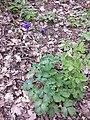 Aquilegia vulgaris sl4.jpg