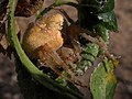 Araña ♀ Araneus pallidus (7076589817).jpg