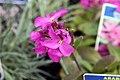 Arabis blepharophylla Spring Charm 9zz.jpg