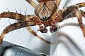 Araneus diadematus ♂ (Clerck, 1757) 1100.4930.jpg