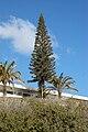 Araucaria columnaris A.jpg