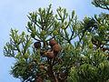 Araucaria cunninghamii cones.jpg