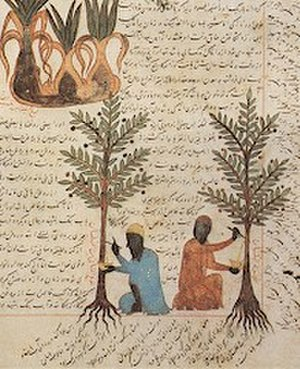 Arab Agricultural Revolution thesis - Medieval islamic arboriculture: Watson argued that cultivated trees including the lime, banana, mango, and coconut were diffused during the Arab Agricultural Revolution.