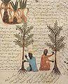 Arboriculture Mediaeval Islam.jpg