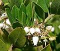 Arctostaphylos tomentosa ssp insulicola 3.jpg