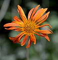 Arctotis x hybrida Flower low DoF.JPG