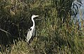 Ardea cinerea - Grey heron 09.jpg