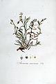 Arenaria marina — Flora Batava — Volume v5.jpg