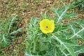 Argemone mexicana - Mexican Prickly Poppy - at Beechanahalli 2014 (11).jpg
