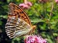 Argynnis paphia (30149870208).jpg