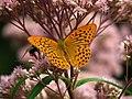 Argynnis paphia on a flower 02.JPG