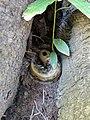Ariolimax columbianus between two tree roots.jpg