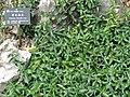 Arisaema saxatile - Kunming Botanical Garden - DSC03001.JPG