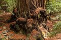 Armstrong Redwoods State Natural Reserve - 07.jpg