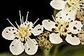 Aronia melanocarpa, Black Chokeberry 2, Howard County, Md., 2018-05-17-14.16 (42087571060).jpg