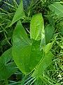 Arrowhead P6300100.JPG