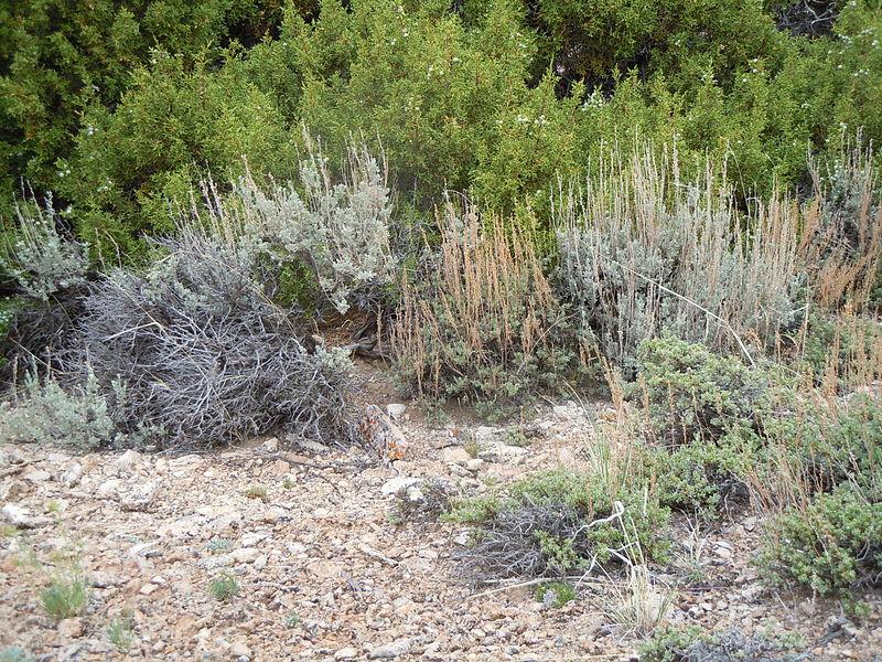 File:Artemisia nova (center and front-right) (7283744018).jpg