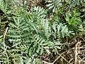 Artemisia pancicii sl28.jpg
