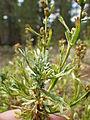 Artemisia rothrockii (7832378942).jpg