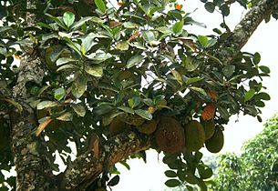 Artocarpus heterophyllus 3.jpg