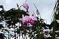 Arundina graminifolia 13zz.jpg