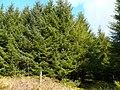 Arwyddbost llwybyr yng nhganol Coed y Blaenglanhanog - Footpath signpost in the middle of Coed y Blaenglanhanog - geograph.org.uk - 1240102.jpg