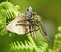 Asilidae. Robberfly with moth (45617993382).jpg