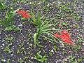 Asparagales - Crocosmia sp. - 1.jpg
