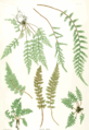 Nature prints in The Ferns of Great Britain and Ireland used fronds to produce the plates