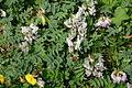 Astragalus australis (Süd-Tragant) IMG 3584.JPG