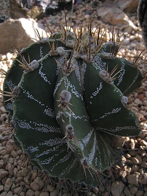 Astrophytum ornatum - It usually has 8 ribs, often in spiral