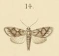 Asura chrypsilon Semper 1899.png